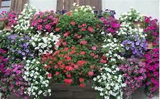 fiori invernali per balconi pontinia balconi in fiore aperte le iscrizioni alla
