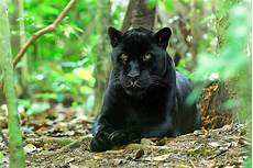 jaguar animal noir 17 best images about jaguar noir on posts