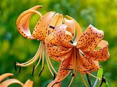 gigli fiore my nature photography orange tiger