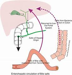 Wie Lange Dauert Verdauung - human digestive system food resorption in the small intestine