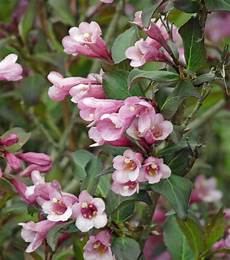 Immer Grüner Strauch - liebliche weigelie was bl 252 ht bei mir garden plants