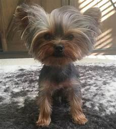 yorkie haircuts 80 adorable yorkie haircuts for your puppy