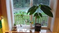 Indoor Avocado Tree Growing Your Own