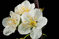 fiore di san i fiori della murgia la rosa di san ovvero il