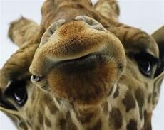 animal en g 30218 stutter g is for giraffes and geekery