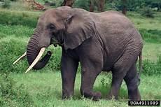 Elephant Loxodonta Africana Proboscidea