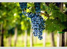 The Six Noble Grapes for Winemaking
