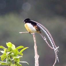 cing paradis 10 burung cendrawasih terindah