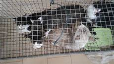 animali in gabbia gatti selvatici in gabbia
