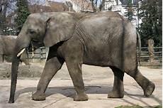 Malvorlage Afrikanischer Elefant Afrikanische Elefanten Fotos 2 Tier Fotos Eu