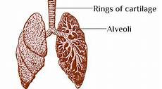 forms supporting rings of respiratory passages life processes chapter 1 human respiratory system for 10th class science