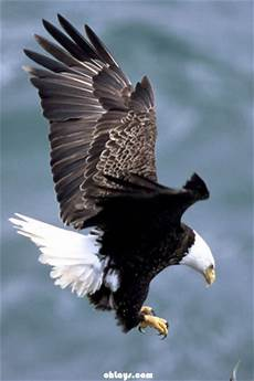 bald eagle iphone wallpaper gopdebates wallpaper eagle