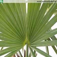 palme per paket blatt sabal minor palme per paket