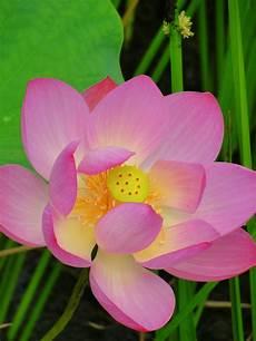 lotus flowers in seoul wordtraveler