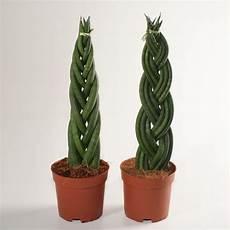 sansevieria cylindrica pflege plants flowers 187 cylindrical snake plant