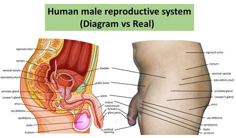 Female Anatomy Drawing Organs