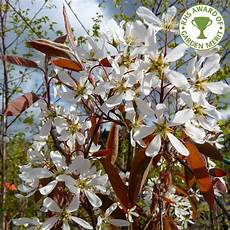 Amelanchier Lamarckii Single Multi Stem Trees Snowy