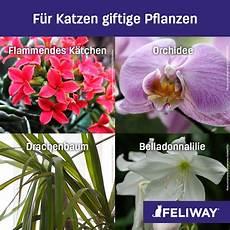 amaryllis giftig für katzen welche zimmerpflanzen sind f 252 r katzen geeignet katzen