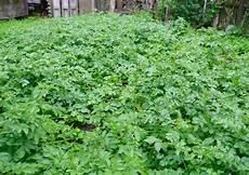 kartoffelanbau im garten fr 252 hkartoffelanbau teil 1 vortreiben anbau und ernte
