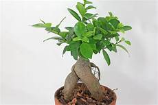 Lorbeerfeige Ficus Ginseng Ficus Microcarpa