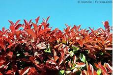immer grüner strauch glanzmispel pflege pflanzen d 252 ngen schnitt