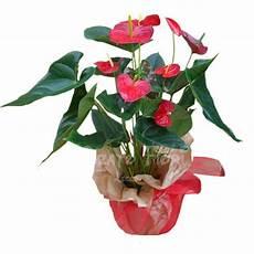prezzo fiori anthurium consegna fiori lecce bouquets piante