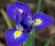 iris fiore immagini dsc 9627 e quot iris blue magic quot i to give