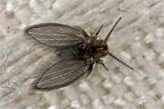 mücken im zimmer finden psychoda cinerea kleine badezimmer schmetterlingsm 252 cke