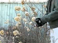 Pruning Limelight Hydrangea In The In Rensselaer