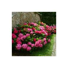 hortensia plantation taille et conseils d entretien