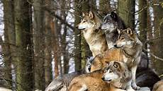 Wallpaper Wolf Pack Images wolfpack wallpapers wallpaper cave