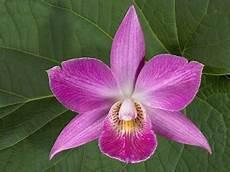 immagini fiori orchidee elegante orchidea rosa immagini e sfondi per ogni momento