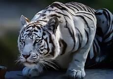 Kumpulan Gambar Harimau Yang Gagah