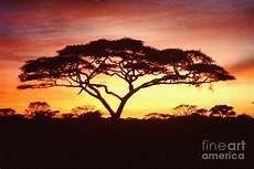 afrikanischer baum silhouette tree of africa photograph by jerome stumphauzer