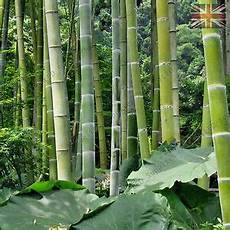Moso Bamboo Pubescens Phyllostachys Edulis