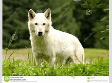 White Wolf stock photo. Image of grass, carnivore, canine