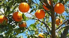 arbre fruitier en pot arbre fruitier en pot des solutions pour se faire