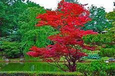 Erable Rouge Du Japon Erable Du Japon 192 Lire
