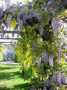 kletterpflanze schatten immergrün kletterpflanzen rankpflanzen schlinger als sichtschutz