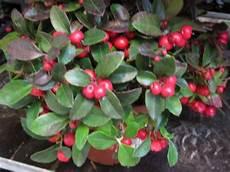 pflanze mit roten beeren gaultheria mit vielen beeren kleinere pflanze versand