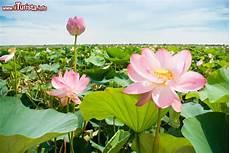 dei fiori la fioritura dei fiori di loto a mantova con i barcaioli