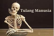 Pengertian Tulang Manusia Sistem Fungsi Rangka Jumlah