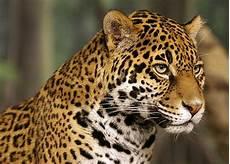 jaguars of costa rica