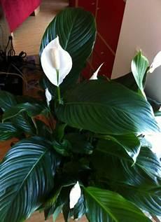 Einblatt Lässt Blätter Hängen - diese zimmerpflanzen gedeihen auch ohne gr 252 ne daumen