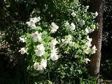 arbuste à fleurs blanches odorantes photo fleurs blanches et odorantes