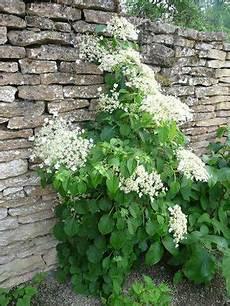 hortensia grimpant pour habiller un mur ou un arbre