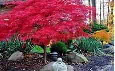 what s 1 japanese maple worth tessera guild