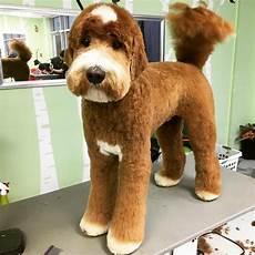 image result for types of goldendoodle haircuts cute the 25 best goldendoodle haircuts ideas on pinterest goldendoodle grooming golden doodle dog