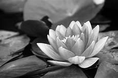 fiori in bianco e nero photo gratuite water noir et blanc 201 tang image