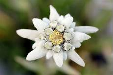 fiore edelweiss edelweiss flower stock photo image of background